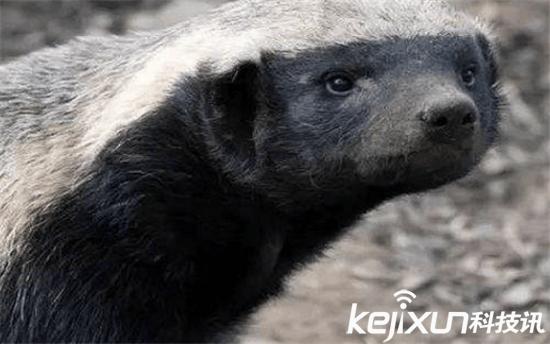 平头哥蜜獾成新晋网红 非洲大草原霸主怼狮子怼毒蛇