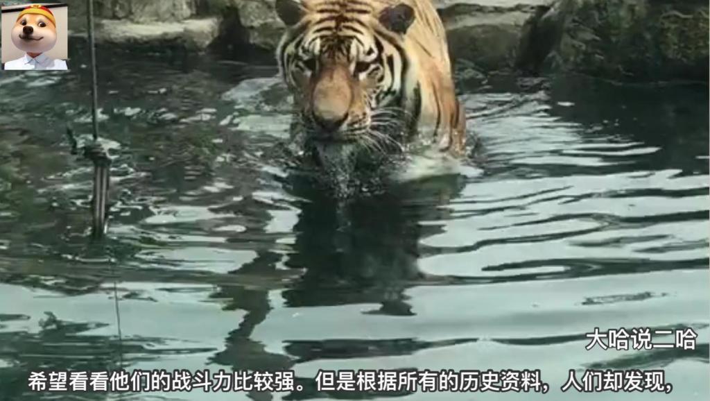 为什么大熊猫不会被老虎和狮子攻击_说出来你都不一定会信