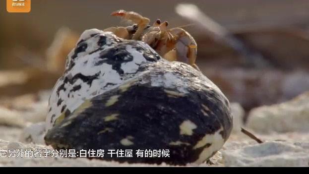 网友实拍: 寄居蟹把婴儿头颅当家,这是在拍恐怖片?