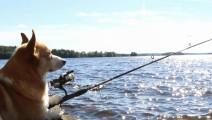 柯基趁主人不在,拿走鱼竿和帐篷去钓鱼了