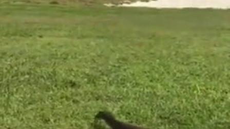 澳大利亚水龙 水蜥蜴