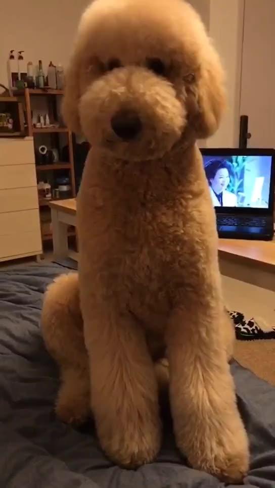 泰迪plus##巨型贵宾犬##搞笑##贵宾##萌宠##汪星人##狗狗##贵宾犬
