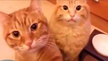 猫咪向主人讨要食物,轻声细语的样子萌翻了