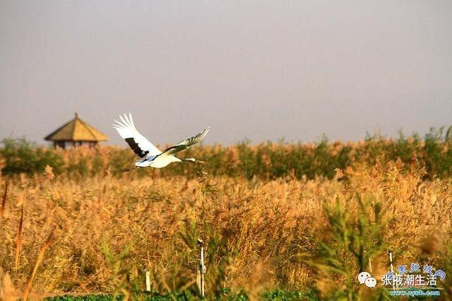 关于丹顶鹤的风景绘画图片