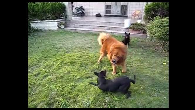难以想象,美国恶魔狗比特竟和原生藏獒称兄道弟!
