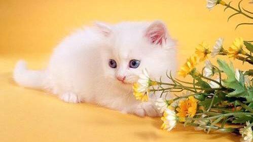 壁纸 动物 猫 猫咪 小猫 桌面 499_281