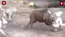 实拍野猪拼死大战三条猎狗,其中比特犬被野猪獠牙刺成重伤