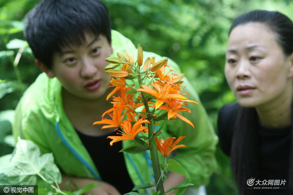 叶集生茎的中部形似莲座状,定名为青岛百合,当时小青岛曾有百合小岛之