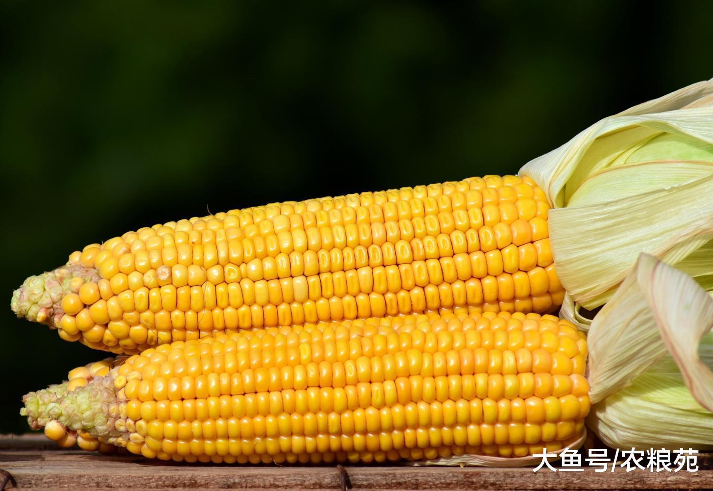 玉米行情做好2月涨价准备, 春节还有2个下落原因