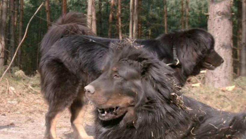 难得一见的激烈搏杀,藏獒咬死野狼,野狼终于遇到强劲对手了!