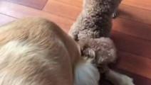 金毛和泰迪打架,没打过转头就向姥姥告状