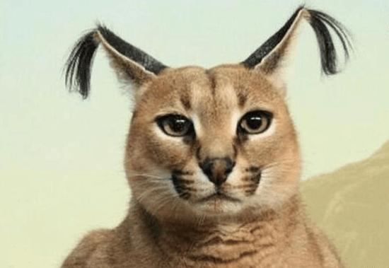 世界上最丑的猫科动物, 头上插两根天线, 长得像猥琐大叔