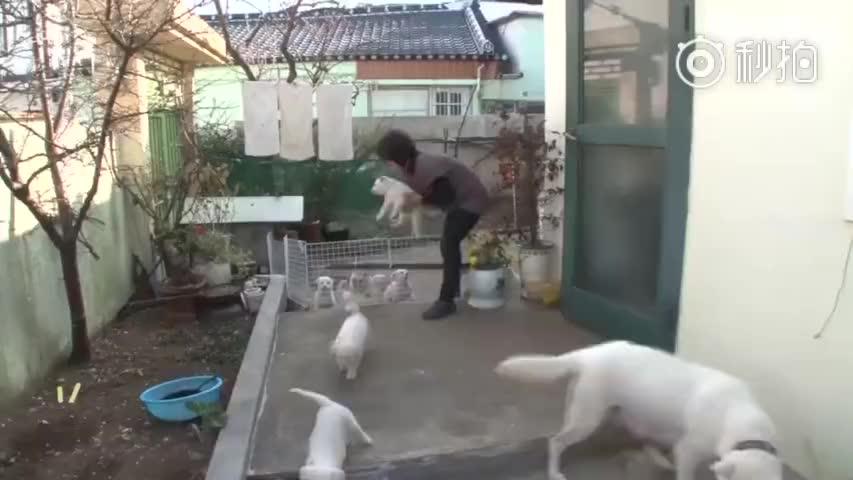 韩国一主人家里的狗狗一口气生了十个宝贝蛋,随着小狗崽慢慢长大,狗麻麻除了偶尔跟狗宝宝抢点吃的,平时根本懒得管它们,由着这些调皮鬼打打闹闹,这下可苦了捡屎官!多了一个超可爱的拆迁大部队,痛并快乐着……