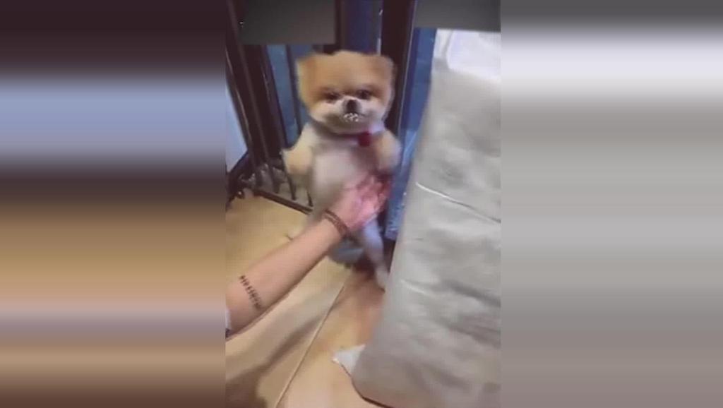 狗狗偷吃被主人逮到,直接就给收拾了!