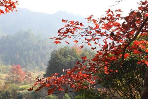 ④ 韶关南岭森林公园 线路难度:休闲 枫叶种类:岭南槭,杜英,情人枫