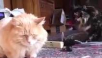 猫的颜值能低到什么程度?主人给家里的猫咪剃了毛之后,结果受到了另一只的强烈鄙视!