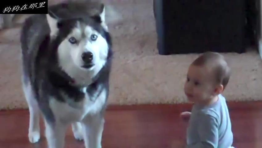 哈士奇抱怨,不想再看孩子了,太折磨狗了
