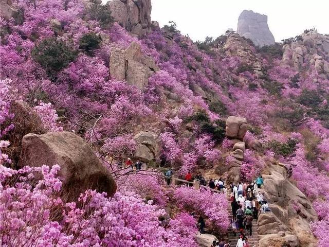 花都开好了, 青岛大珠山风景区旅游攻略!