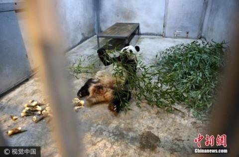 探访秦岭野生动物园生病熊猫 身体正在恢复中