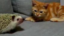 猫第一次看见刺猬,上去就是一巴掌,打完就后悔了