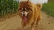 阿拉斯加犬村里的一霸,无狗可敌