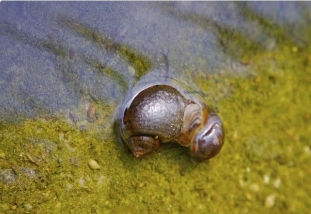 对于泛滥成灾的福寿螺,连我国吃货都无法消灭它们,它们是被谁解决的呢