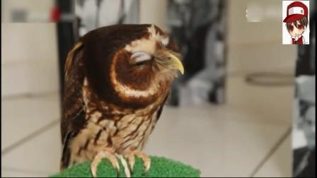 宠物搞笑 猫头鹰是最可爱的生物