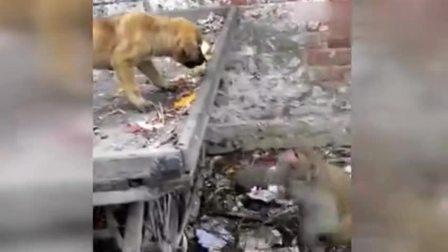 欺狗太甚!实拍汪星人被猴子耍得团团转 毫无招架之力