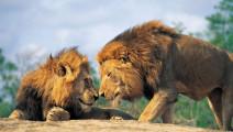 非洲鬣狗首领谁不去惹,偏偏招惹这两头怪异的狮子,这下后悔了吧?