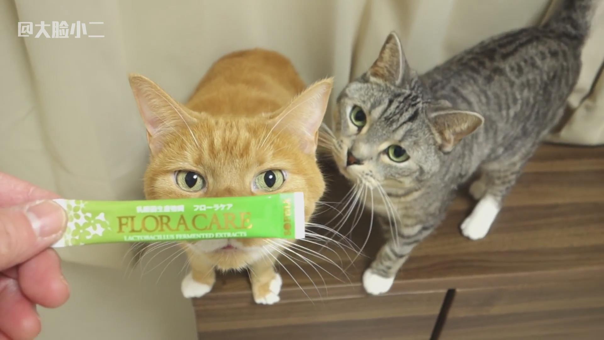 主人太坏了,总是拿好吃的逗猫!猫咪一个个想吃的神态太可爱了!
