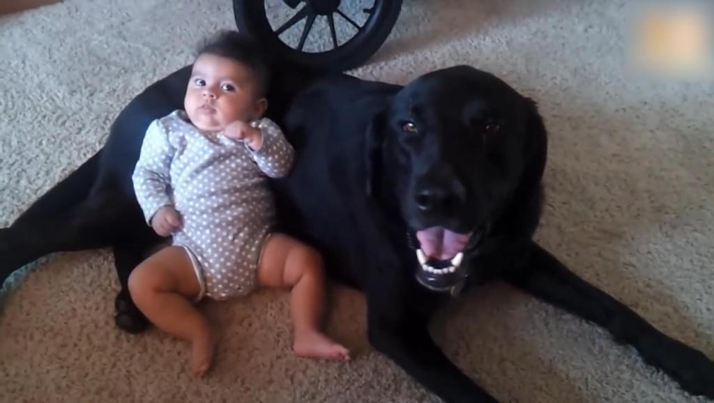 宝宝占了狗窝要和狗狗一起睡,接下来拉布拉多的举动太有爱了