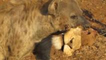 霸气鬣狗捕杀狮子,吃的只剩一个头