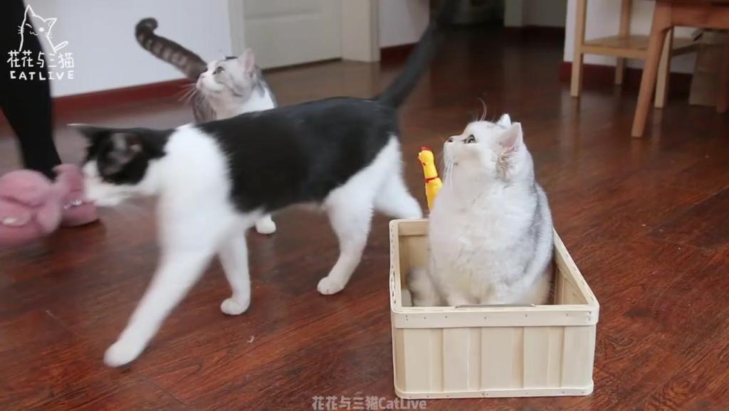 猫咪吃完猫薄荷棒棒糖后,居然坐上扫地机器人飙车!