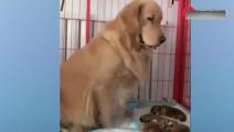 金毛趁柴犬不在,偷偷去抱柴犬的孩子,结果柴犬的反应亮了!