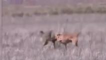 野外大战!实拍比特犬大战郊狼,狼遇到狠茬了
