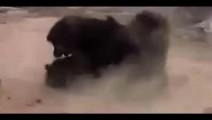 实拍獒犬打架,场面惊心动魄,这才是真正的藏獒!