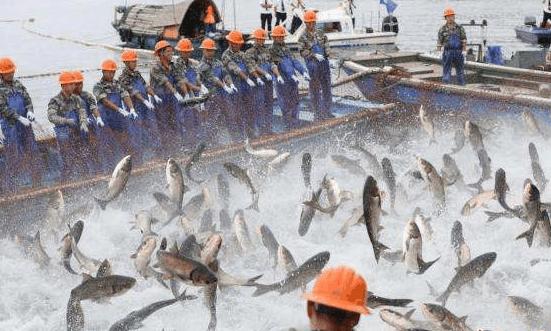 千岛湖捕鱼万鱼跃起 渔夫们是怎么做的