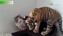 猫和老虎,别以为我怕你,你和我一样大
