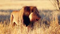 跟鬣狗不知说过多少遍了,不要招惹这头脾气不好非洲雄狮,就是不信