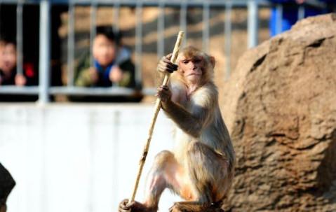 春节期间,青岛动物园的猴山成为人气最高的景点之一.