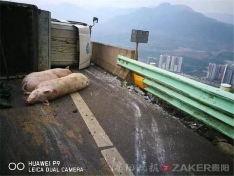 """拉猪货车高速路上侧翻 15 头猪受惊""""出逃"""""""