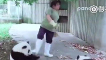 饲养员扫地,一群熊猫上前围观