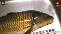 日本料理: 一条普通的鲤鱼秒变高级刺身,吃上一口就停不下来