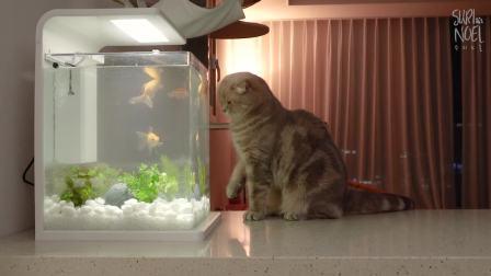[Suri Noel萌喵一家]猫咪只顾看金鱼睡不着觉