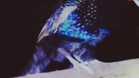 湖南野鸡 孔雀蓝山鸡 绿化山鸡 白化山鸡 技术视频