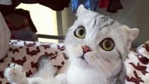 患有先天疾病的猫——苏格兰折耳猫