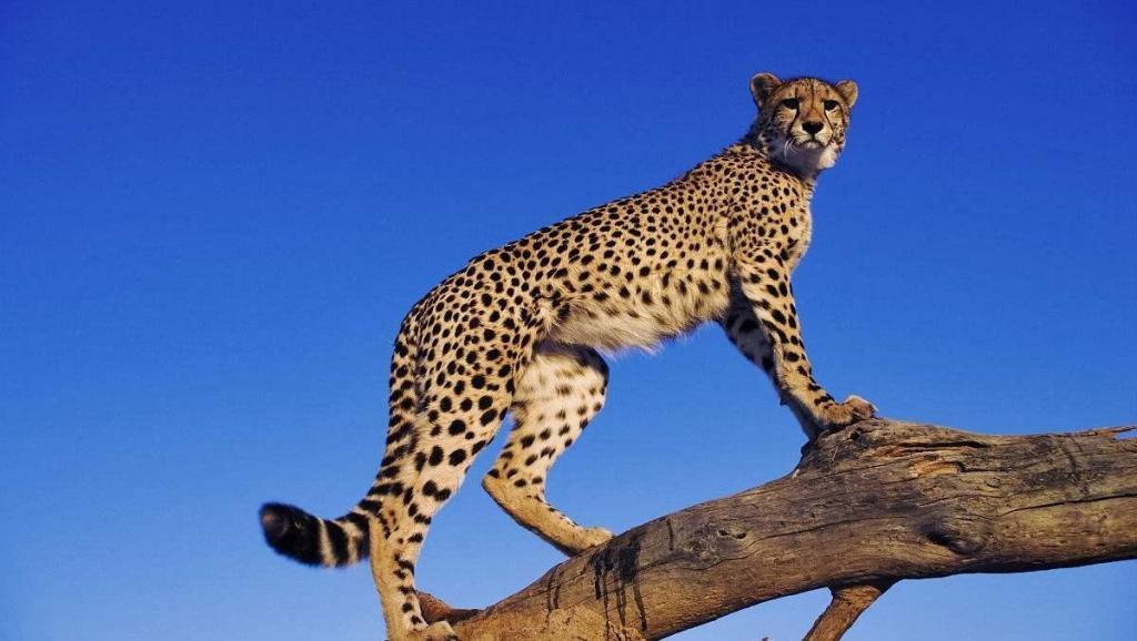 非洲动物实拍: 花豹在树上吃掉整只羚羊