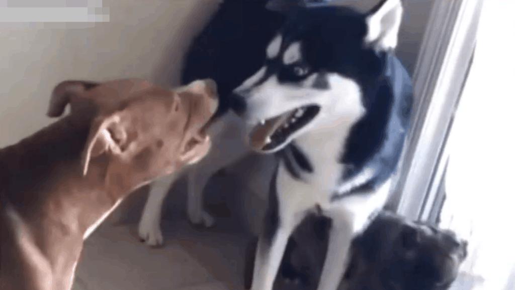 哈士奇和凶猛的比特犬打架,哈士奇一招制敌