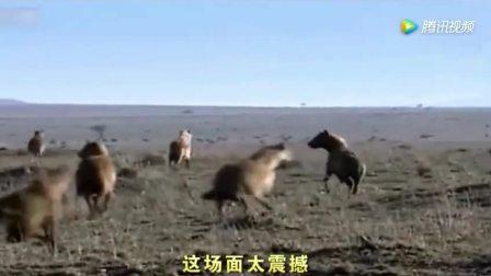 实拍: 鬣狗想围攻小狮子怎料狮王半路杀出暴打鬣狗, 好可怜!