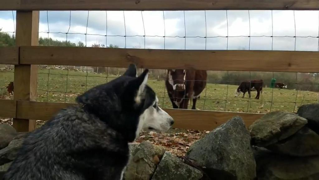 哈士奇与牛的相遇,二哈一直望着牛不愿意轻易离开,这大概就是爱情吧